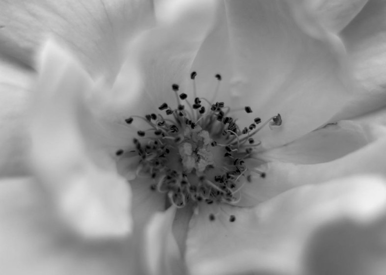 A black and white flower image by Bryan De Gruchy