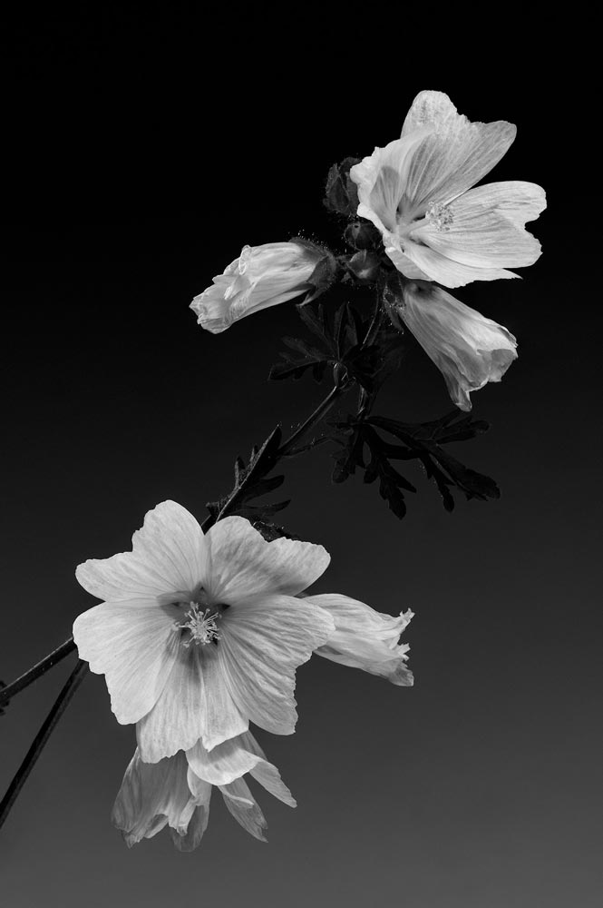 A black and white flower image by Carlo Savo