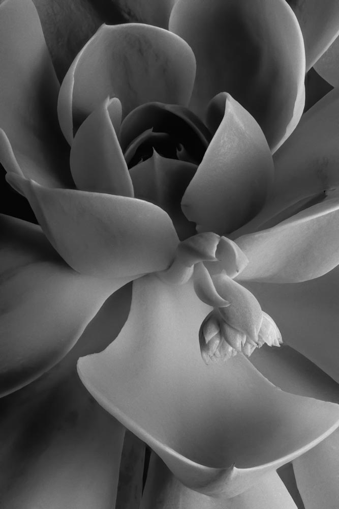 A black and white flower image by David Morgan