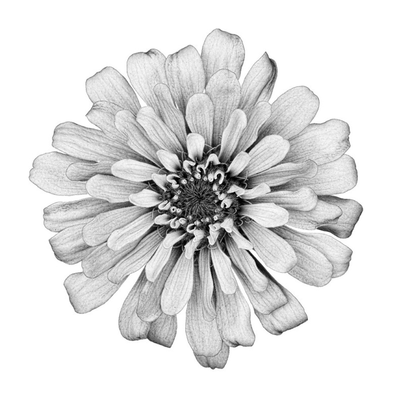 An image of black and white flowers by David Ward