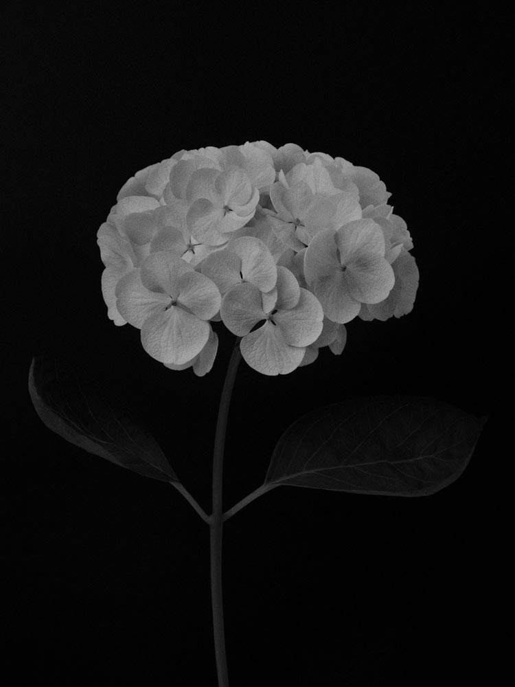An image of black and white flowers by Debbie Sears