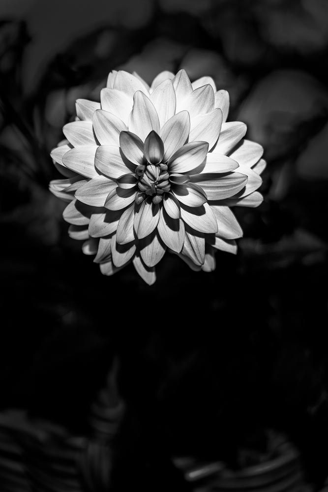 An image of black and white flowers by Des Lewis