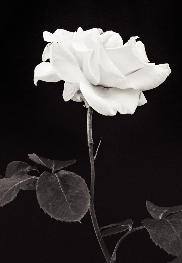 An image of black and white flowers by Endre Herczeg