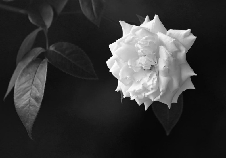 An image of black and white flowers by Franck Charlery Adele