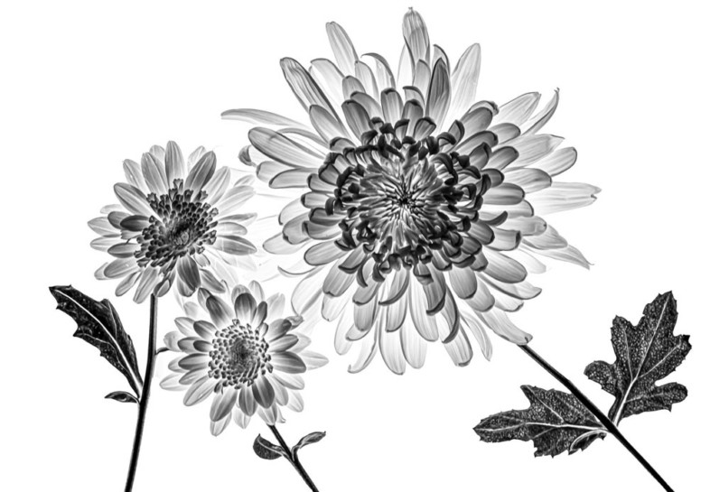 An image of black and white flowers by Lidija Hauck