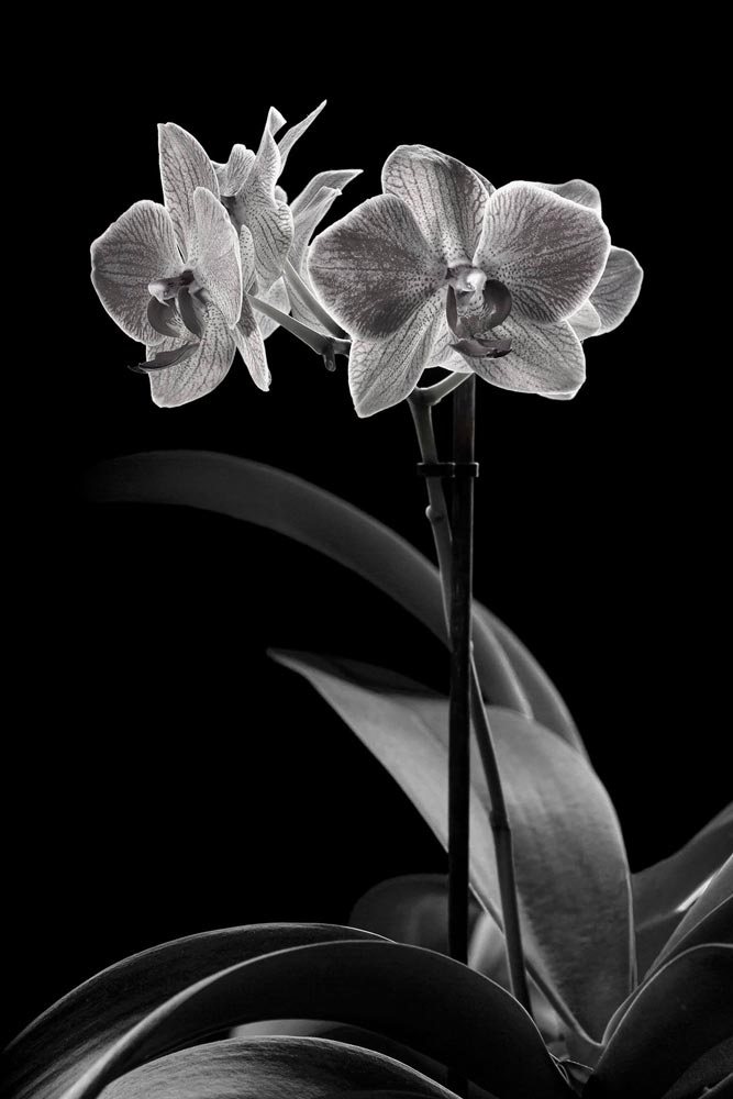 An image of black and white flowers by Massimo Biava