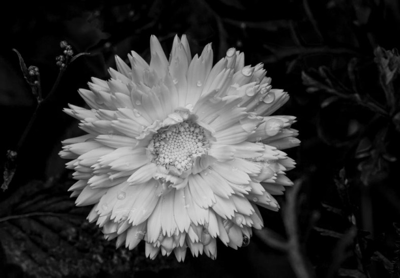 A black and white flower image by Richard Randle