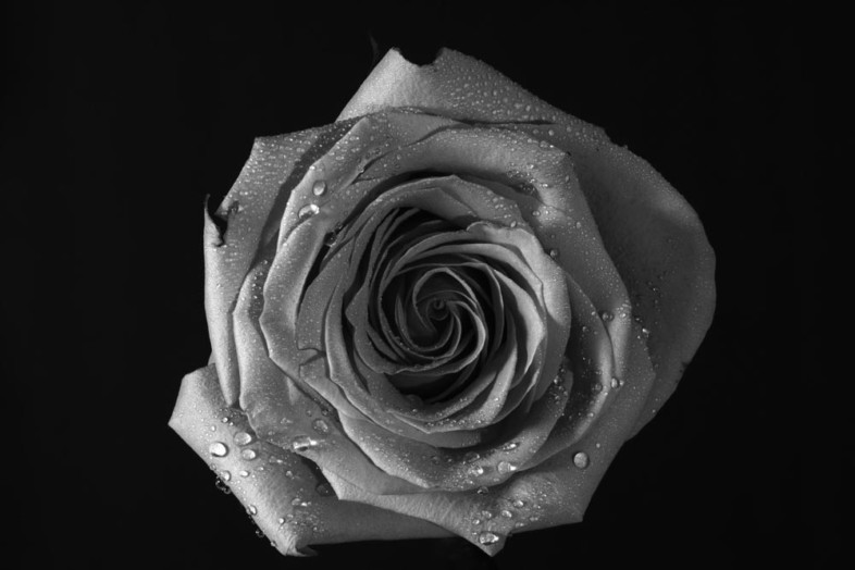 A black and white flower image by Yitz Weiss